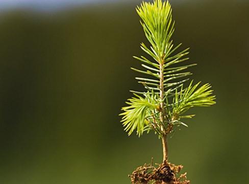 Limträ och miljön